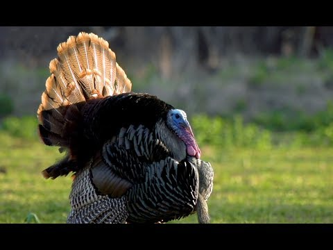 Turkey Hunting With .410 And 20 Gauge | Kentucky Public Land Turkey Hunt