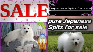 Pure Japanese Spitz for sale | #K9 dynasty