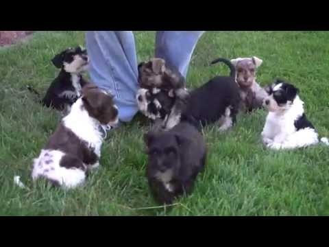 Miniature Schnauzer Puppies for Sale from www.dyerfarms.com