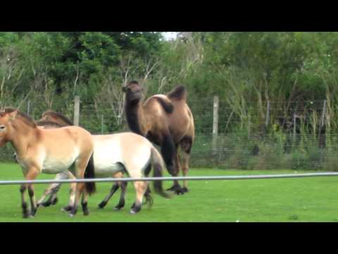 Camel VS Horse at Marwell thumbnail