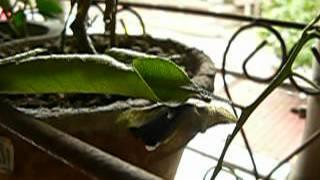 從柑橘上上帶回家的黑鳳蝶,5月11日中午順利羽化,化蛹的位置有些尷尬,...