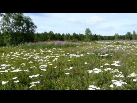 Трава, цветы Кипрей Иван-Чай: применение, польза и вред