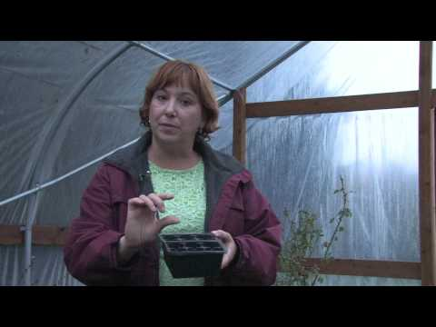Flower Gardens : How to Grow Sweet Pea (Lathyrus Odoratus)