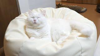 人ダメソファはどんな猫もダメにしてしまいます。