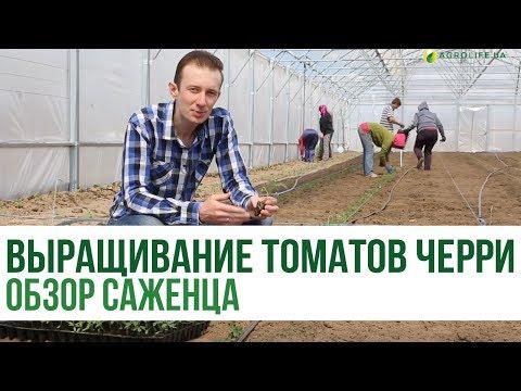 Выращивание томатов черри: обзор саженца (часть 2)   Agrolife.ua