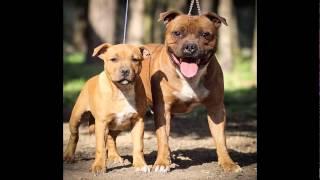 Lindas Fotos De Cães Da Raça Staffordshire Bull Terrier.