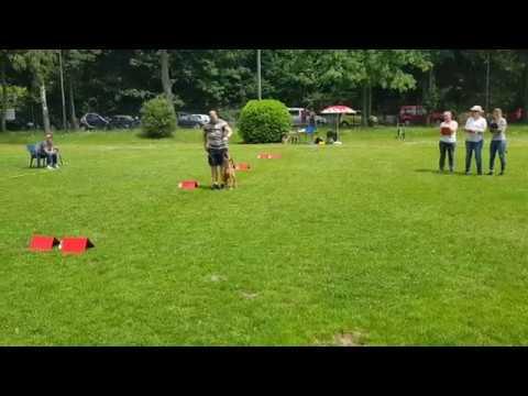 Rally Obedience Irish Terrier Morton - Klasse 1
