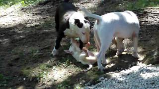 Bull Terrier Puppies For Sale At Redhill Kennel Indiana