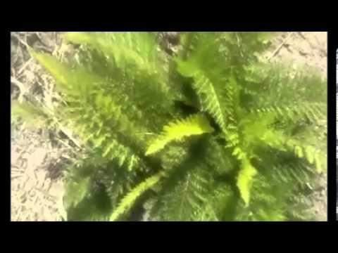canfora planta medicinal