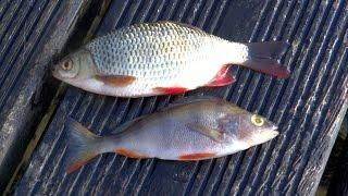 Pike fishing wt. deadbait: rudd vs perch underwater attack. Рыбалка атака щуки.