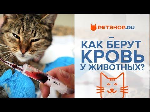 Лечение кошки: АНАЛИЗ КРОВИ