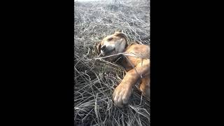Воспитание щенка гончей