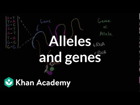 difference between gene and allele pdf