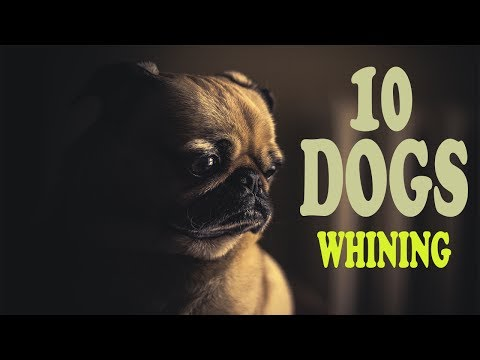 DOGS WHINING Sound Effect | Show this to your Dog and See What Happens HD