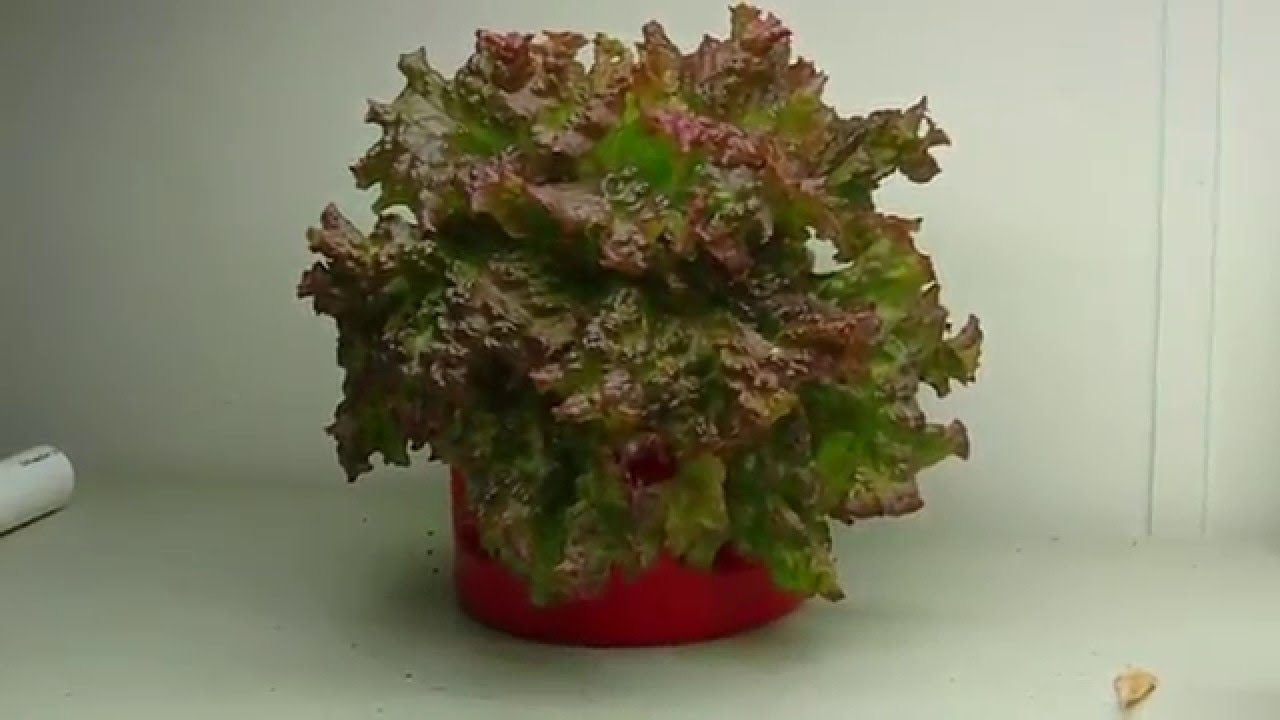 Hydroponic Lettuce For Christmas (Kratky Experiment 2015) Indoor ...
