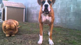 Dogue De Bordeaux Vs Boxer