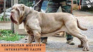 Neapolitan Mastiff Interesting facts | Italian Bulldogs | Italian Dog Breed Video