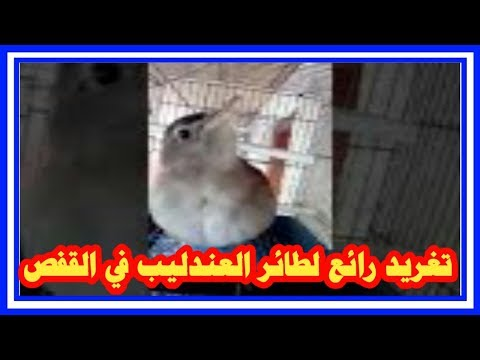 تغريد طائر العندليب .. (الحسنية ) في القفص           للأخ رشيد الجزائري thumbnail