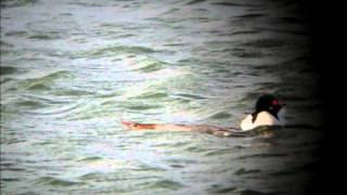 Common Mergansers mating
