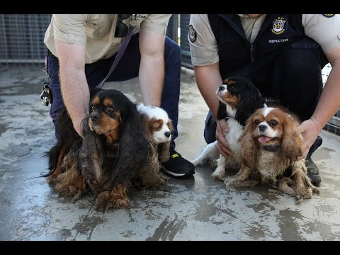 RSPCA seizes severely matted and neglected cavaliers
