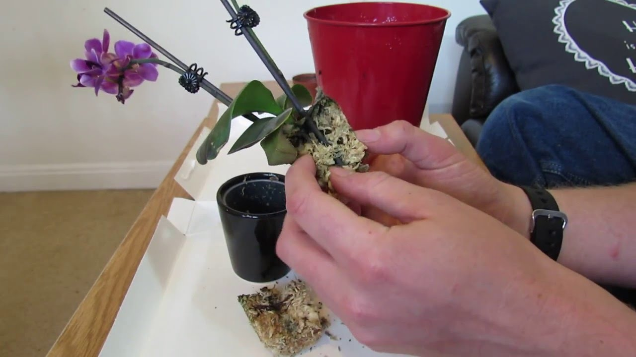 Repotting Miniature Phalaenopsis Orchid Youtube