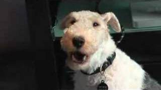 Basil the wire haired fox terrier just loves the ringtones (alerts)...