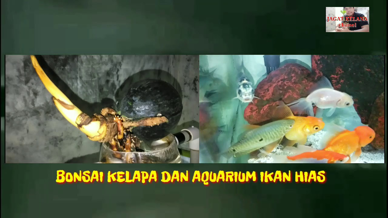 Hydrococonut Bonsai Bonsai Kelapa Media Air Dan Aquarium Ikan