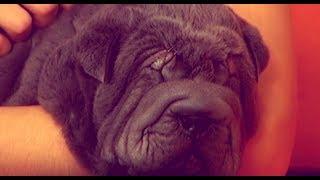 Шарпеи - взрослый и щенок. Очарование в складках