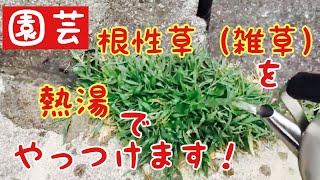 【実験】根性草(雑草)を熱湯でやっつける thumbnail