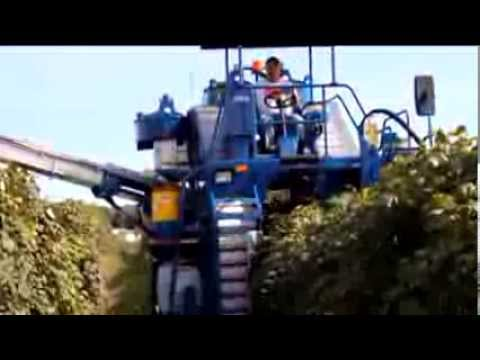 Concord Grape Harvest in the Largest Concord Region in the World