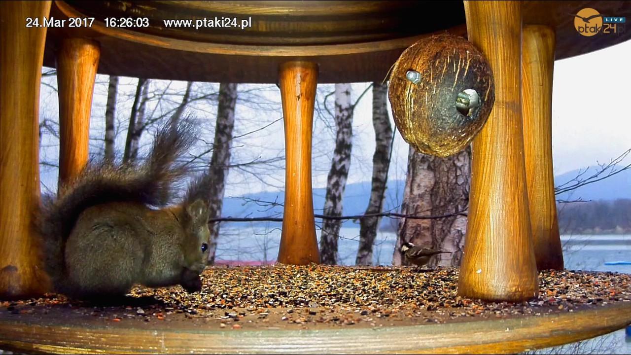 Wiewiórka na kolacji w karmniku dla ptaków nad Soliną