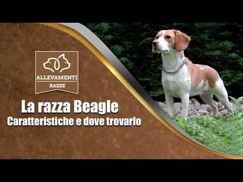 Il Beagle - Caratteristiche e dove trovarlo - Documentario di Allevamenti Razze