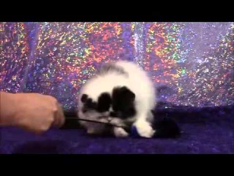 Black & White male Persian kitten