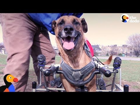 Amazing Dog Who Couldn't Walk Well Gets Life Changed with New Wheelchair | The Dodo