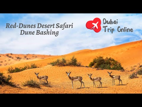 Evening Red-Dunes Desert Safari In Dubai with BBQ Dinner & Dune Bashing by Dubai trip online