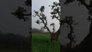 হিজল গাছ 700 বছরের সাক্ষী