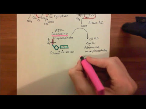 The Heterotrimeric G proteins and Adenylyl Cyclases Part 1