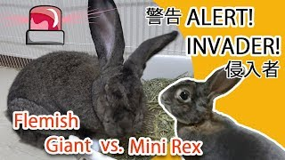 This Flemish Giant Rabbit Hates a Mini Rex Rabbit (Welcome Our Guest Rabbit, Lulu!)うさぎのケンカ