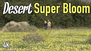 Amazing wildflower super bloom in Anza Borrego Dessert, California....