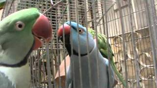 This is my talking Parrots,.
