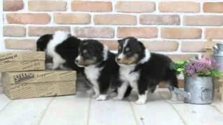 関西シェットランドシープドッグ(シェルティ)子犬販売→ http://www.at...