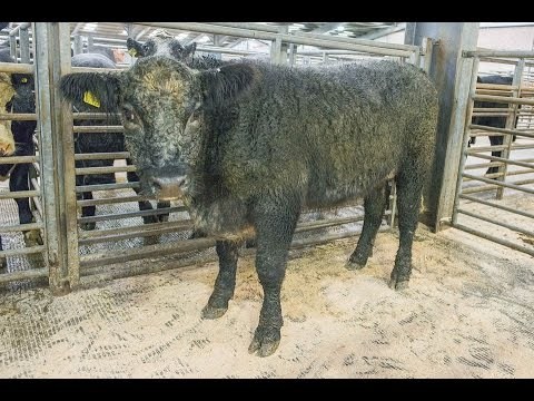 Native Breed Cattle Champion At Hexham Mart - September 30th 2016