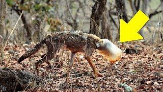 Uma Matilha de Lobos se Separou e uma Estranha Criatura Apareceu Para as Pessoas