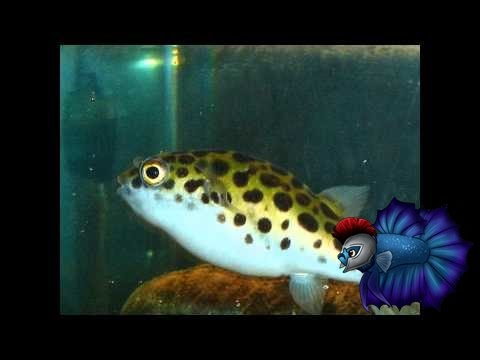 How to care for the green spotted puffer youtube for Puffer fish diet