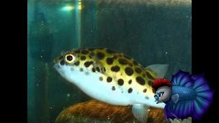 How To Care For The Green Spotted Puffer