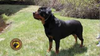 Von Eisenhart Rottweilers - Dogs - Colorado Rottweiler Breeder
