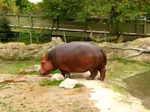Thumbnail: Hippo gets explosive diarrhea.