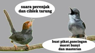 Suara Prenjak Dan Ciblek Tarung Buat Pikatan Burung