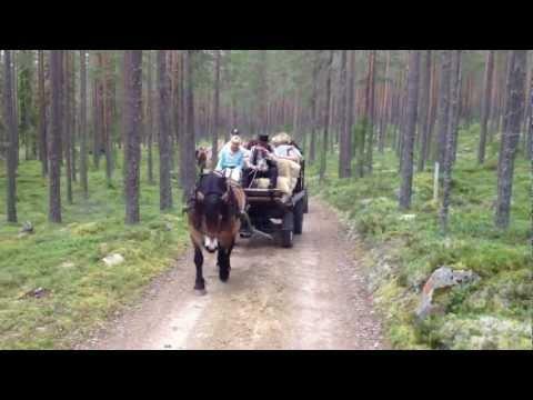 Bland blåbär, björnar och älgar  .. Utflykt på Järvsö finnskog i Hälsingland.