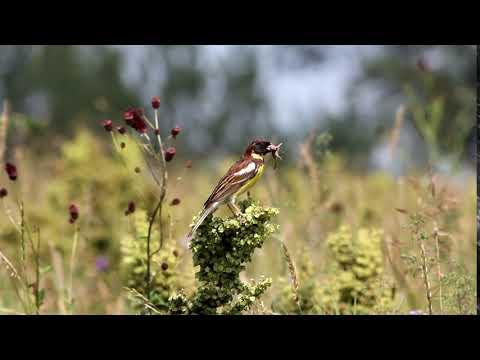 Yellow-Breasted Bunting (Emberiza aureola) Russia.